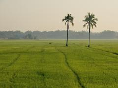 Two coconut in paddy rice. Stock Photos