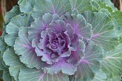 ornamental purple kale or cabbage . - stock photo