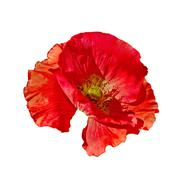 Poppy red side view Stock Photos