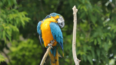 Macaw preens. Stock Footage