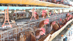 Chicken farm, hen egg. Stock Footage
