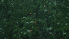 Summer Rain Storm and Blowing Wind Apricot Tree HD Stock Footage