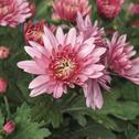 Stock Photo of chrysanthemum picture