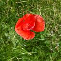 Stock Photo of papaver flower