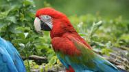 Stock Video Footage of Screeching Macaw.