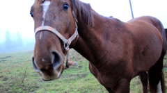 Horse chewing on something then bowing down to eat more grass Stock Footage