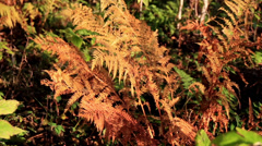 Closer image of the withered ferns Stock Footage