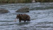 Stock Video Footage of BROWN BEAR CATCH AND EAT