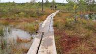 735 wooden trail in bog swamp marsh land Stock Footage
