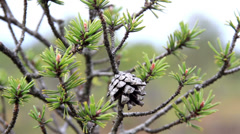 Close image of the pine cone in the tree branch on bog swamp Stock Footage