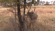 Stock Video Footage of Nice Mule Deer Buck Rubbing Antlers