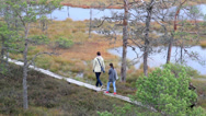Stock Video Footage of 757 five people walking on the wooden trail on bog swamp