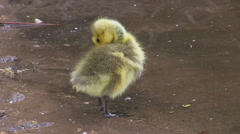 Funny clumsy little gosling Stock Footage