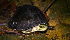 Endangered Amboina Box Turtle emerges from shell in the jungles of Borneo. - stock footage