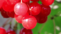 Pink viburnum opulus guelder rose cherries all ready for picking Stock Footage