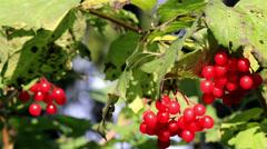 770 viburnum opulus guelder rose cherries hanging on the tree branch Stock Footage
