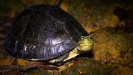 Stock Video Footage of Endangered Amboina Box Turtle looks at camera, walks away in Borneo.