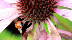 closer image of a lady bug on top of leaf - stock footage