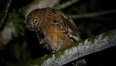 A Buffy Fish Owl eats a giant rhinoceros beetle in the jungles of Borneo. - stock footage