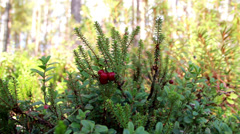 Growing shrub with fruit Stock Footage