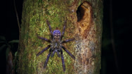 Stock Video Footage of A giant Malayan Earth Tiger Tarantula retreats to her tree burrow in Borneo.