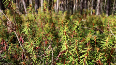 792 tall marsh labrador tea rhododendron tomentosum shrubs on the forest Stock Footage
