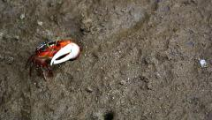 Fiddler Crab emerges from burrow in a flood plain in the jungles of Borneo. Stock Footage