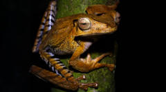 A File-eared Frog perches on a branch at night in the jungles of Borneo. Stock Footage
