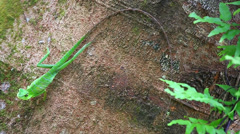 A Green Lizard basks on a tree and then runs off in the jungles of Borneo. Stock Footage