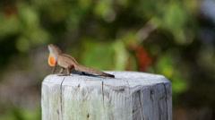 Florida_Lizard_1 Stock Footage