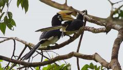 Giant Hornbills socialize and preen themselves in the jungles of Borneo. Stock Footage