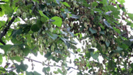 Stock Video Footage of humulus flower bud hanging and is swaying with the wind