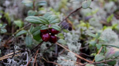Up-close image of cherries and also small shrubs Stock Footage