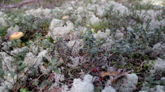 In the middle of the grassy area reindeer lichen cladina cladonia lactari Stock Footage