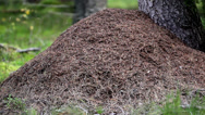 Stock Video Footage of anthill next to a big tree