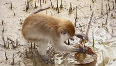 A Long-tailed Macaque feeding on a Horseshoe Crab or Skate in Borneo. Stock Footage
