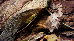 Giant Monitor Lizard blinks as mosquito approaches its eye in jungles of Borneo. Stock Footage