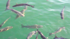 School of fish swimming fish farm Stock Footage