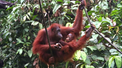 A wild Endangered Orangutan and her baby play and eat in Borneo. Stock Footage