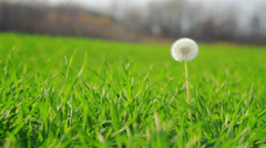 White dandelion flower head on fresh green background seed Stock Footage