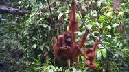 Stock Video Footage of A wild Endangered Orangutan and her baby play and eat in Borneo.