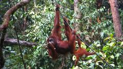 A wild Endangered Orangutan and her baby play and eat in Borneo. - stock footage