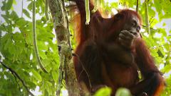 A truly Wild Endangered female Orangutan eats seeds in a tree in Borneo jungle. Stock Footage