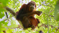 A truly Wild Endangered female Orangutan eats seeds in a tree in Borneo jungle. - stock footage