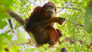 Stock Video Footage of A truly Wild Endangered female Orangutan eats seeds in a tree in Borneo jungle.