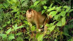 Endangered Southern Pig-tailed Macaque in the jungles of Borneo. Stock Footage