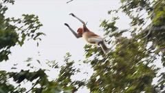 Endangered Proboscis Monkey leaps (slow motion) in the jungles of Borneo. Stock Footage
