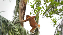 Endangered Proboscis Monkey climbing through palm trees in the jungles of Borneo Stock Footage