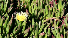 yellow flower budding and surrounded by leaves grasses - stock footage