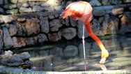 Flamingo standing on one leg one-legged ostrich Stock Footage